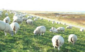 Schafe in Schillig am Deich